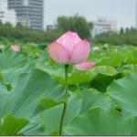 8月お盆の上野 不忍池は、蓮の花が満開。骨董市はいつも怪しい(笑)